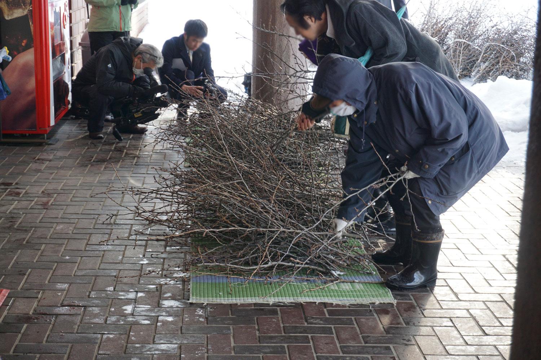 弘前公園の桜・剪定枝の無料配布