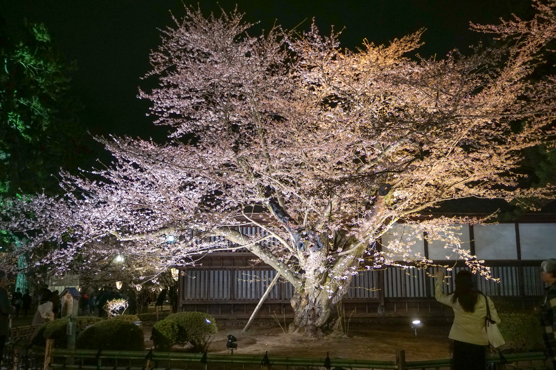 弘前公園 最古のソメイヨシノ ライトアップ
