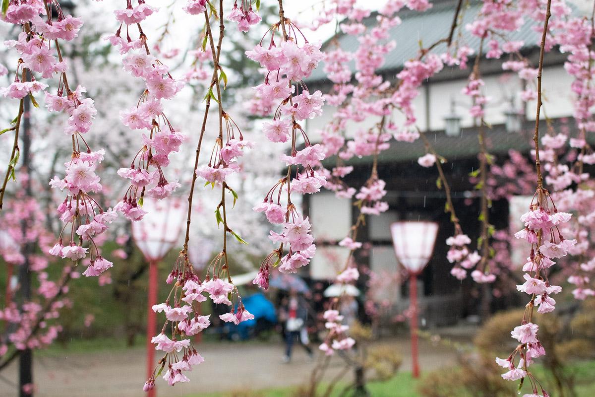 弘前さくらまつり 八重桜