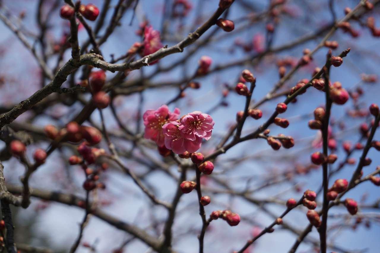 弘前公園 梅
