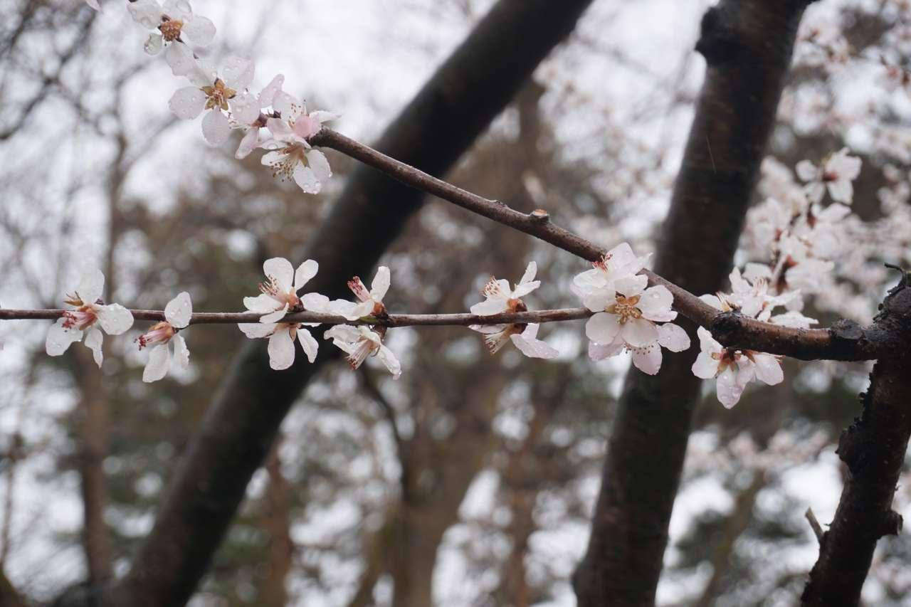 弘前公園 ノモモ