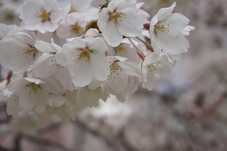 弘前さくらまつり 桜