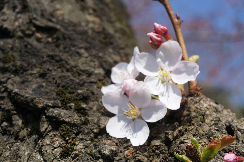 弘前公園 外濠 胴吹き桜
