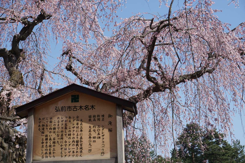 弘前さくらまつり 御滝桜