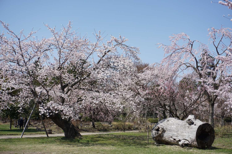 弘前さくらまつり 植物園