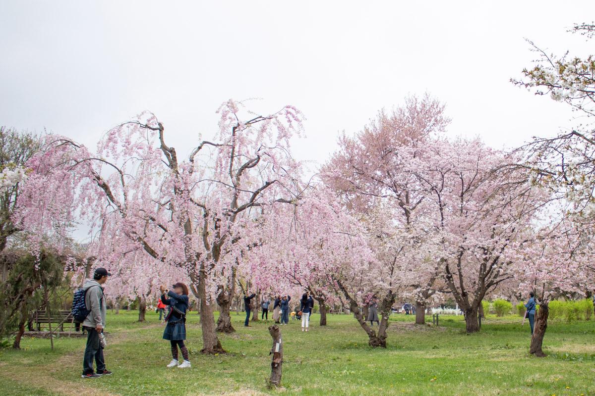 弘前さくらまつり 弘前城植物園