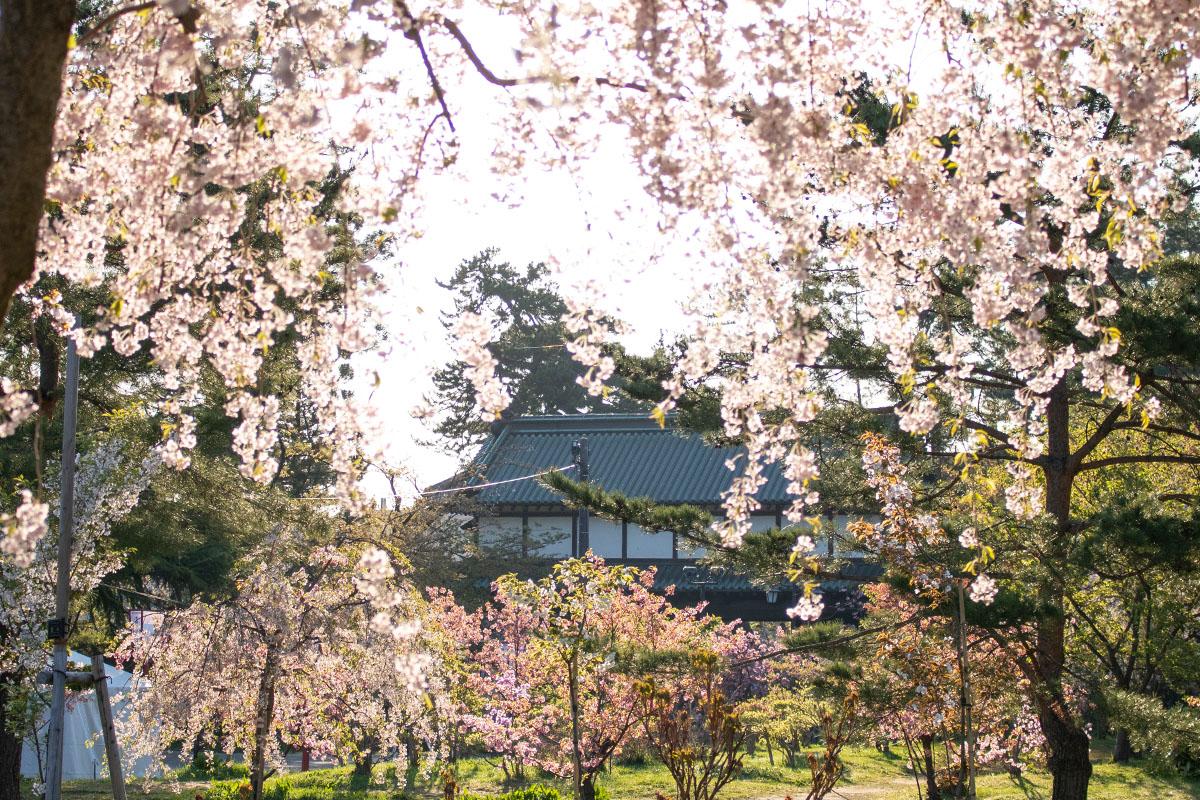 弘前さくらまつり 東門と桜