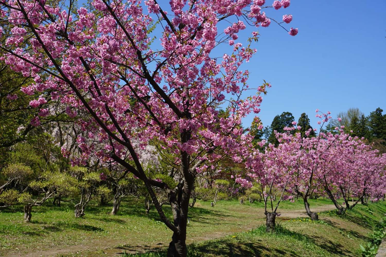 弘前さくらまつり 横浜緋桜