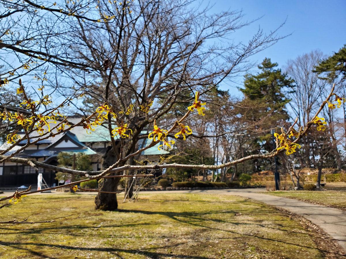 弘前公園 マルバマンサク