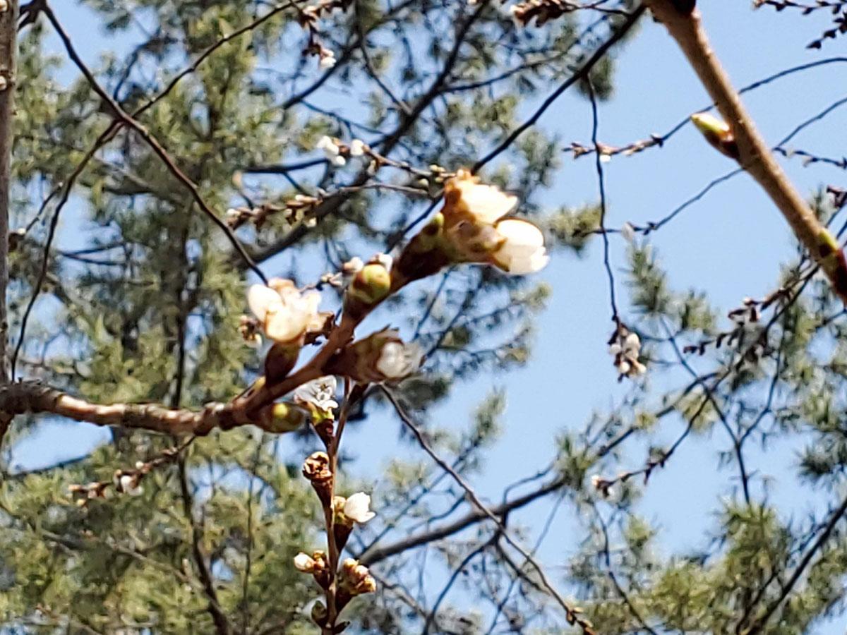弘前公園 子福桜