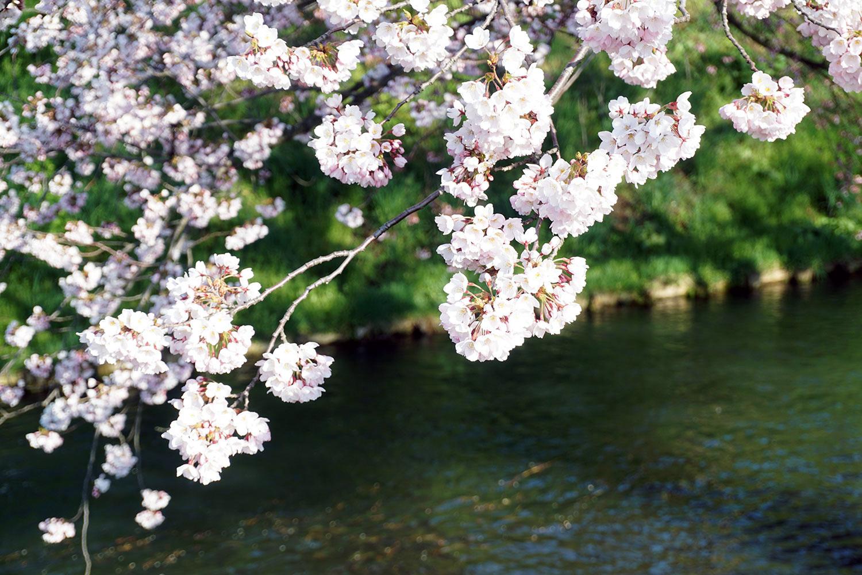 2020年弘前公園の桜