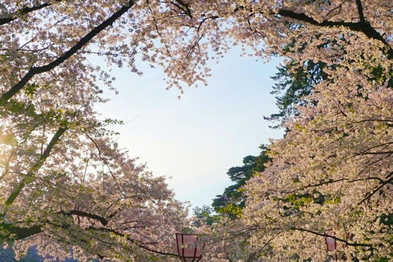 弘前公園の桜のハート