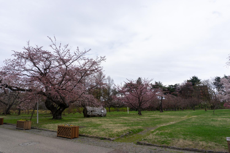 (2021年4月14日撮影)弘前公園 桜