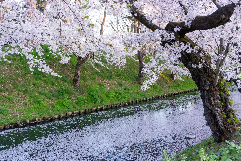 2021年 弘前公園「花筏(はないかだ)」が見ごろ(2021年4月22日撮影)