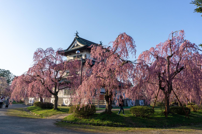 (2021年4月22日撮影)弘前公園 桜