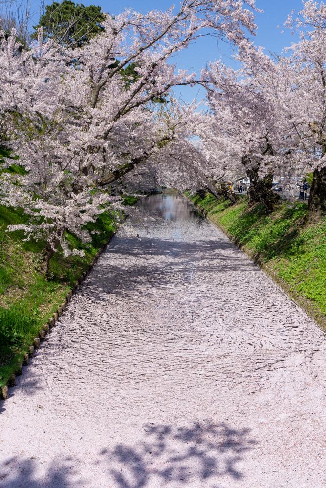 2021年 弘前公園「花筏(はないかだ)」が見ごろ(2021年4月23日撮影)