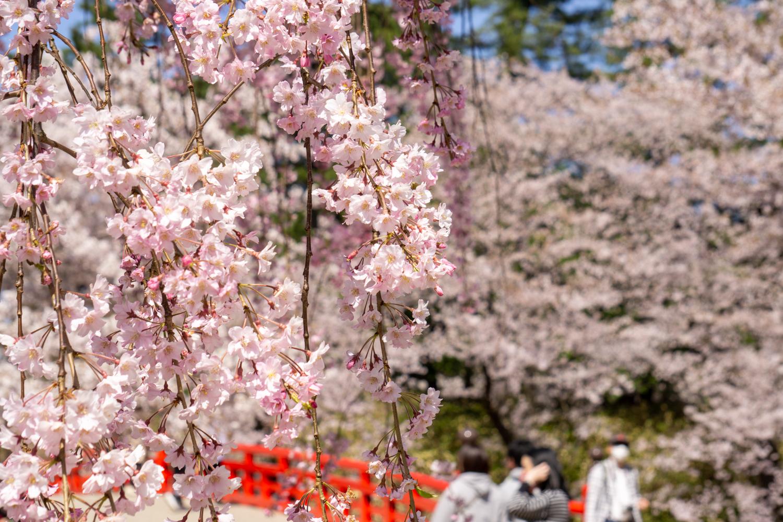 (2021年4月23日撮影)弘前公園 桜