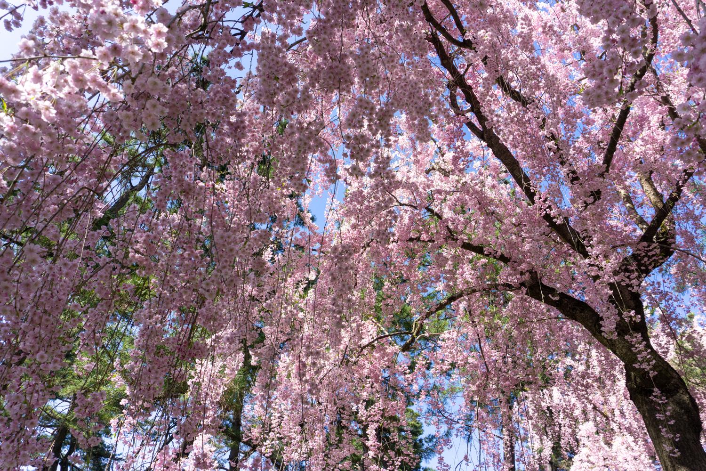 (2021年4月26日撮影)弘前公園 桜