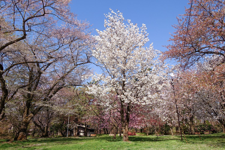 (2021年4月27日撮影)弘前公園 桜