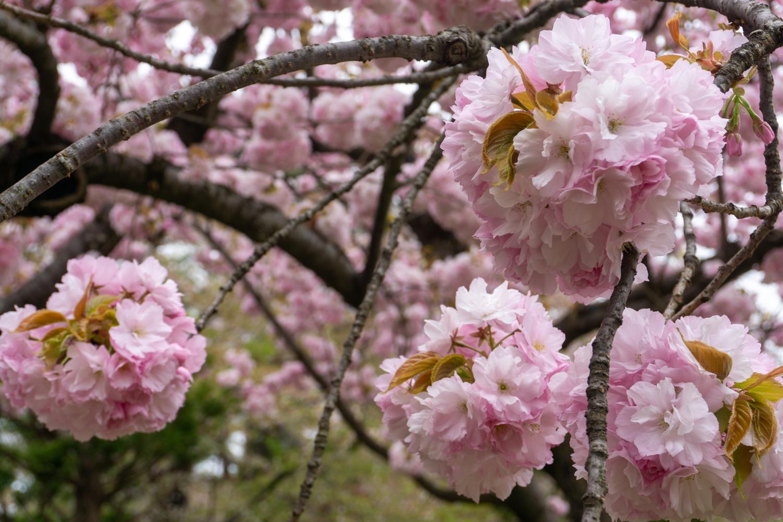 2021年4月29日撮影・弘前公園