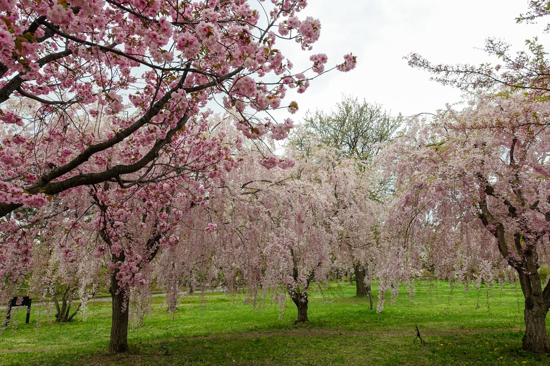 (2021年4月28日撮影)弘前公園 桜