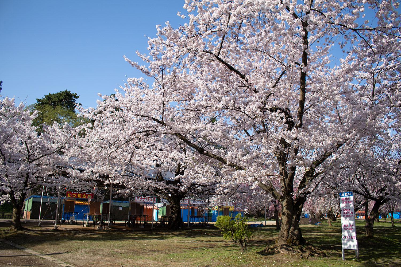(2021年4月20日撮影)弘前公園 桜