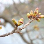 2012年4月25日付 桜開花予想