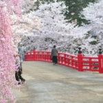 弘前公園桜開花情報2012