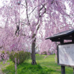 2013年3月16日付 青森県弘前市 弘前公園の桜の開花予想!