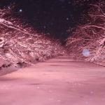 冬に楽しむ満開の桜!「冬に咲くさくらライトアップ」弘前公園外濠にて開催中