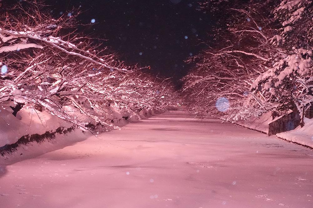 弘前公園総合情報 冬に咲くさくらライトアップ