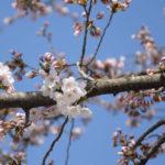 【明日開幕!弘前さくらまつり2019】2019/4/19 弘前公園・桜
