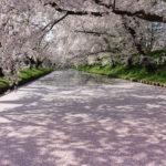 弘前公園 花筏 外濠 桜 絨毯
