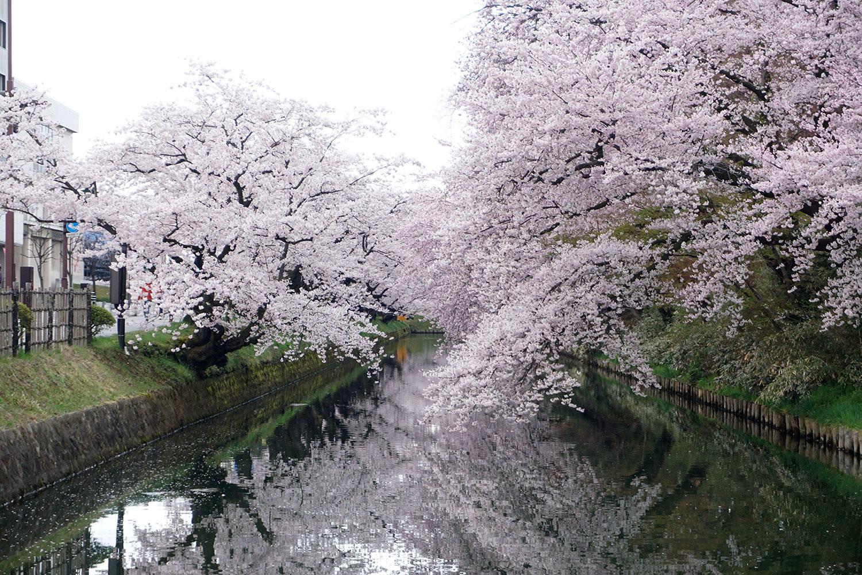 2020年 弘前公園 桜